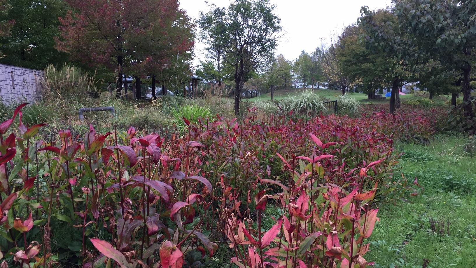 宿根草の紅葉